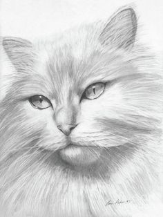 Pencil Drawing - Himalayan Cat by Lena Auxier