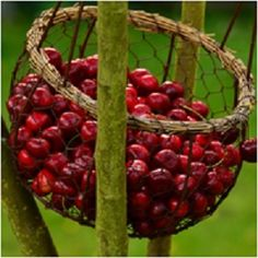 Cherry fruit has been associated magically and metaphysical with love and fertility, and it is an emblem of kindness and youth. -- Cherry Magical Properties