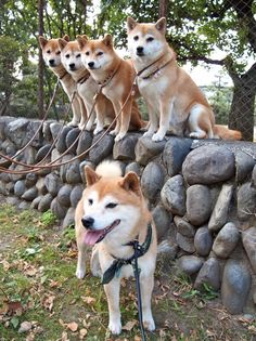 Im gonna be the crazy shiba dog lady someday with my pack! all rescued of course! Shiba Inu, Shiba Puppy, Japanese Dog Breeds, Japanese Spitz, Japanese Dogs, Akita Puppies, Cute Puppies, Cute Dogs, Dogs And Puppies