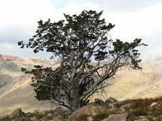 Ceder Tree  Cederberg Mountains,South Africa