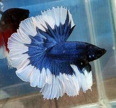 808 Blue butterfly OHM male