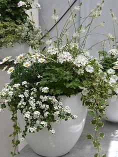 Gavra, marjetka, bakopa, zvezdasta pelargonija, petunija in moljevka. Hanging Plants, Fingers, Gardens, Outdoor Gardens, Garden, House Gardens