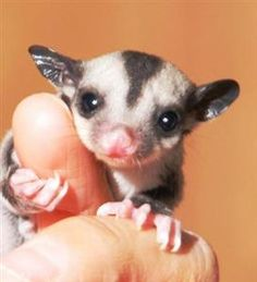This isn't mine but i just got one of these adorable sugar gliders!