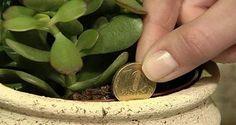 Selon le Feng Shui, le Crassula ou Arbre de Jade est une plante à installer chez soi pour attirer la richesse et la prospérité.