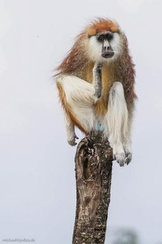 Patas Monkeys (endangered), Segera Ranch by Michael Poliza