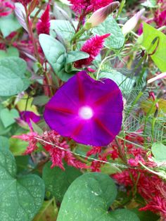 Beautiful Morning Glory--taken in the evening hours!!