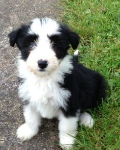Find bearded collie puppies for sale or for adoption from reputable and trusted dog breeders. Description from dogbreedspicture.net. I searched for this on bing.com/images