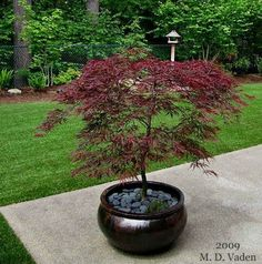 , Growing Japanese Maple Trees in Containers · Cozy little house. , Growing Japanese maple trees in containers. · Cozy little house Japanese Maple Garden, Japanese Garden Landscape, Japanese Gardens, Japanese Maple Trees, Japenese Maple, Japanese Garden Plants, Zen Gardens, Cottage Gardens, Small Gardens