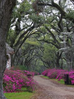 Blooming Azaleas at entrance to Afton Villa, St. Francisville, Louisiana. Photo taken by Coleen Perilloux Landry (1) From: P Base, please visit