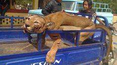 Polémica en Perú por la caza de un puma en peligro de extinción. Habitantes de Tierra Rajada tardaron cinco horas en encontrar al felino que había acabado con gran parte de su ganado y pasearon el cuerpo por toda la ciudad http://www.infobae.com/2013/09/12/1508447-polemica-peru-la-caza-un-puma-peligro-extincion