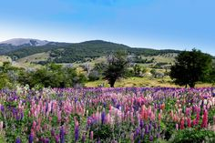 Les Lupins