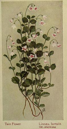Twin Flower- Linnaea Borealis