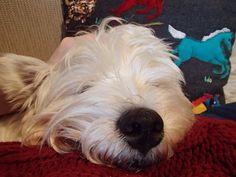Good night my dear friends!!!  #westie#westiemoments#westiegram#westies#westieoftheday#westielove#whwt#westhighlandwhiteterrier#dog_features#howimetmypet#инстаграмзверят#dogsofinstagram#dogsofinstaworld#weeklyfluff#exellent_dogs#lacyandpaws#патрончик_батончик#vsco#vscocam#vscorussia#vscodogs#инстаграмнедели#вестик#вестхайлендвайттерьер#worldofcutepets#bestwoof#barkbox#dogsofig#rescuedog by westie_patrick