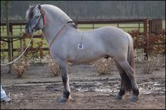 Fjord stallion