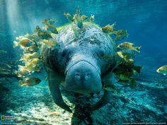 Manatee and Fish Photo, Underwater Wallpaper – National Geographic Photo of the… Vida Animal, Mundo Animal, Beautiful Creatures, Animals Beautiful, Cute Animals, Underwater Photography, Animal Photography, Underwater Photos, Nature Photography