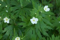 http://faaxaal.forumgratuit.ca/t213-anemone-du-canada-anemone-canadensis-canadian-anemone