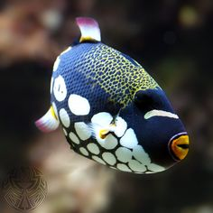 Clown Triggerfish, also known as the bigspotted triggerfish