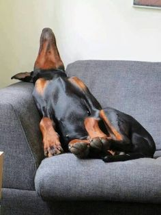 So Doberman! I would pick my boy up and carry him to his bed. Would not move a muscle.