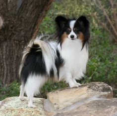 """pappion - this breed is the """"longest lived"""" of all breeds... and they are very sweet and super SMART dogs, too!"""