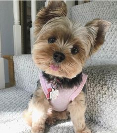 """See our web site for more information on """"yorkshire terrier puppies"""". It is an outstanding place for more information. Perros Yorkshire Terrier, Yorkshire Terrier Haircut, Puppy Haircut, Yorkie Haircuts, Top Dog Breeds, Yorkie Puppy, Teacup Yorkie, Teacup Dogs, Pomeranian Dogs"""