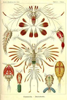 Beautiful drawings of Copepods (brine shrimp) by german artist-science Ernst Haeckel