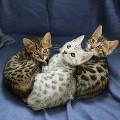 Bengal kittens pt. deux