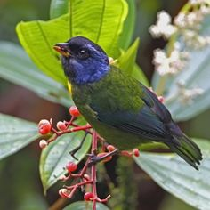 Moss-backed Tanager - Colombia  Ecuador