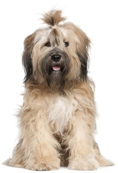 The Tibetan Terrier is a medium-size breed of dog originated in Tibet. Despite its name, it is not a member of the terrier group. Terriers, Terrier Dogs, Medium Sized Dogs, Medium Dogs, Tibet Terrier, Female Dog In Heat, Dog Spay, Easiest Dogs To Train, Dog Hacks