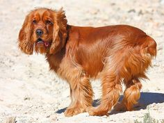 Cocker Spaniel #dog