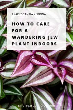Lawn and Garden Tools Basics Wandering Jew Plant Care Guide. Peruse How To Grow And Care For Tradescantia Zebrina Houseplants. Complete Guide To Help You Keep Your Wandering Jew Plant Healthy. Big Indoor Plants, Hanging Plants, Indoor Gardening, Outdoor Gardens, Garden Plants, House Plants, Leafy Plants, Types Of Houseplants, Wandering Jew