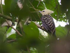 Foto pica-pau-de-cabeça-amarela (Celeus flavescens) por Cal Martins | Wiki Aves - A Enciclopédia das Aves do Brasil