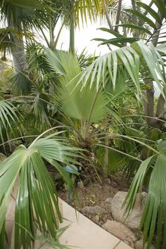 """Brahea pimo.  This is a very rare and unusual Brahea (fan palm from Mexico, not to be confused with a """"Mexican fan palm"""").  It is a smaller, slower growing palm, but they are quite tropical looking and are hardy to many climates.  They do well in both sun and filtered light."""