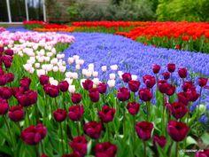 Campos de tulipanes en Holanda (Abril)