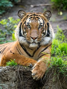 This tiger knows how to sit for a portrait.