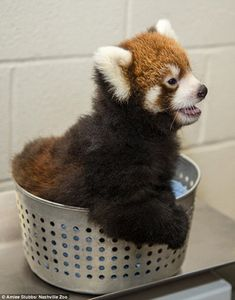 Adorable baby red panda is born at Nashville Zoo