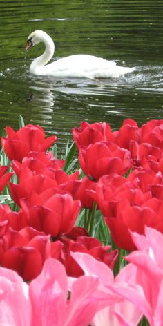 It's spring and the delicate tulips have awoken...A beloved garden staple of mine!