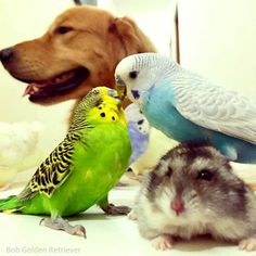 Bob the Golden Retriever and his best friends -- a hamster and a flock of birds -- live adorably together in Brazil. Bobs Pic, Hamster Life, Animals And Pets, Cute Animals, Unlikely Friends, Pretty Little Girls, Cuddle Buddy, Budgies, Parrots