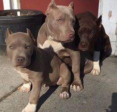 Uplifting So You Want A American Pit Bull Terrier Ideas. Fabulous So You Want A American Pit Bull Terrier Ideas. Amstaff Terrier, Pitbull Terrier, Bull Terriers, Cute Baby Animals, Animals And Pets, Funny Animals, Cute Puppies, Cute Dogs, Dogs And Puppies
