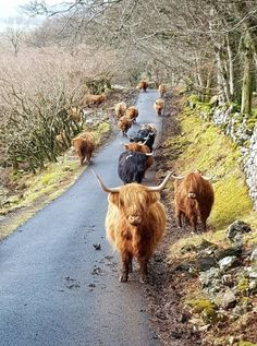 Rush hour traffic on the Isle of Mull, Scotland Scottish Highland Cow, Highland Cattle, Outlander, Farm Animals, Animals And Pets, Cute Animals, Strange Animals, Beautiful Creatures, Animals Beautiful