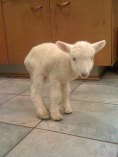 baby lamb :) We'll be having a lot of these around my parents house soon. Cute Baby Animals, Farm Animals, Animals And Pets, Beautiful Creatures, Animals Beautiful, Animal Pictures, Cute Pictures, Baby Lamb, Sheep And Lamb