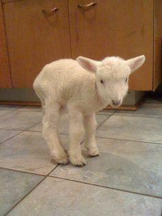 ! baby lamb :)