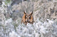 Owl loving the snow time by missfortune11.deviantart.com on @deviantART