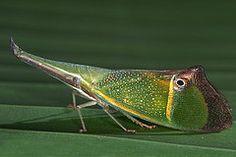 Odontoptera carrenoi (Fulgoridae) by Gernot Kunz