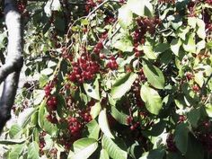 Choke cherries make excellent jelly and one of the best cough syrups that can be…