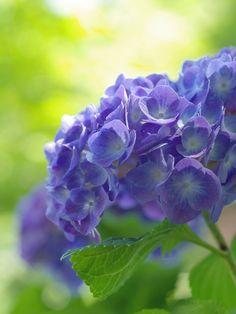 "uyamt: ""紫陽花(あじさい) Hydrangea """