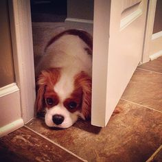 oliver - When you own a cavalier king charles spaniel you are never alone :)