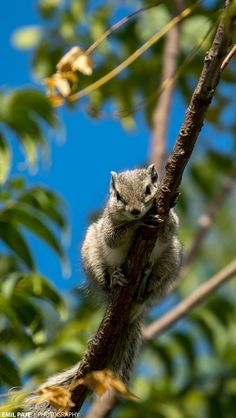 Fygles  — funkysafari:   Squirrel peaking down by emilpaje