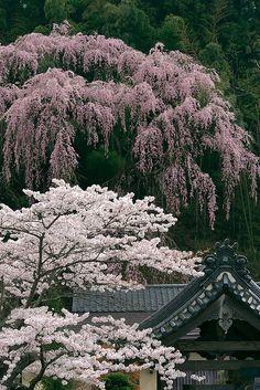 Cherry trees at Fukuju temple, Fukushima, Japan