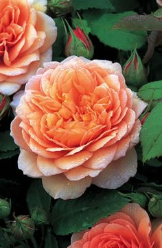 """David Austin Rose 'Grace' - reminds me of my Dad's old rose garden - """"What's in a name? That which we call a rose   By any other name would smell as sweet."""" #flowershowlove ..."""