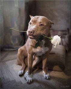 The amazing pit bull !